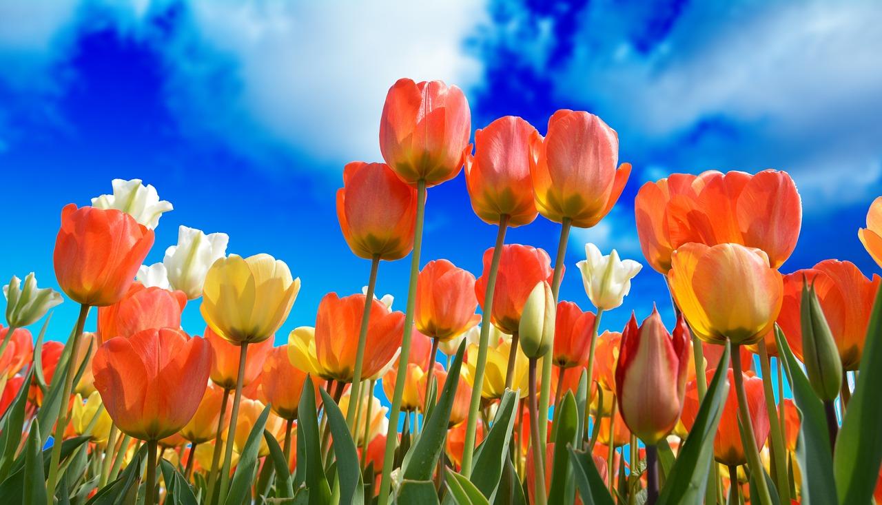 tulips-3251607_1280